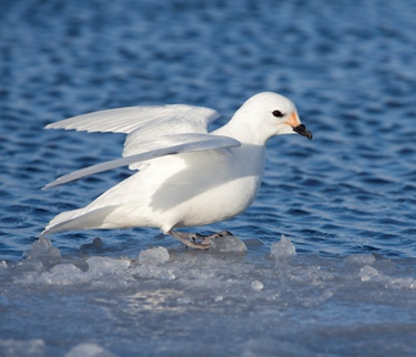 All about the snow petrel